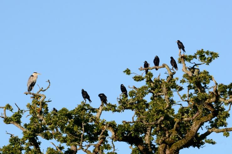 Heron and Rooks together in a tree