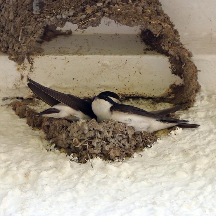 House Martins building a nest
