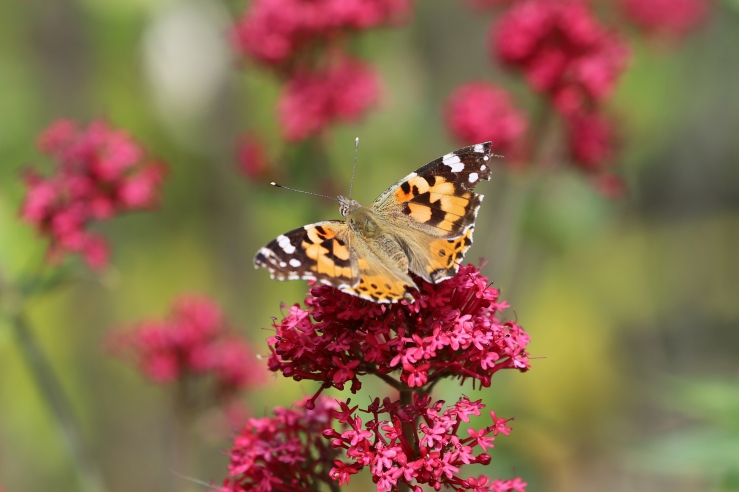 Photo of a Painted Lady butterfly in the UK